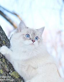 невская маскараная кошка  окрас голубой абби поинт с серером биколор