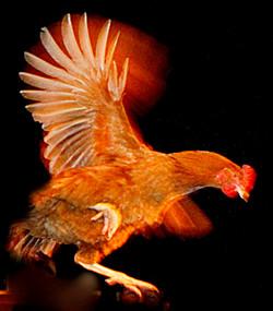 L'envol de la poule