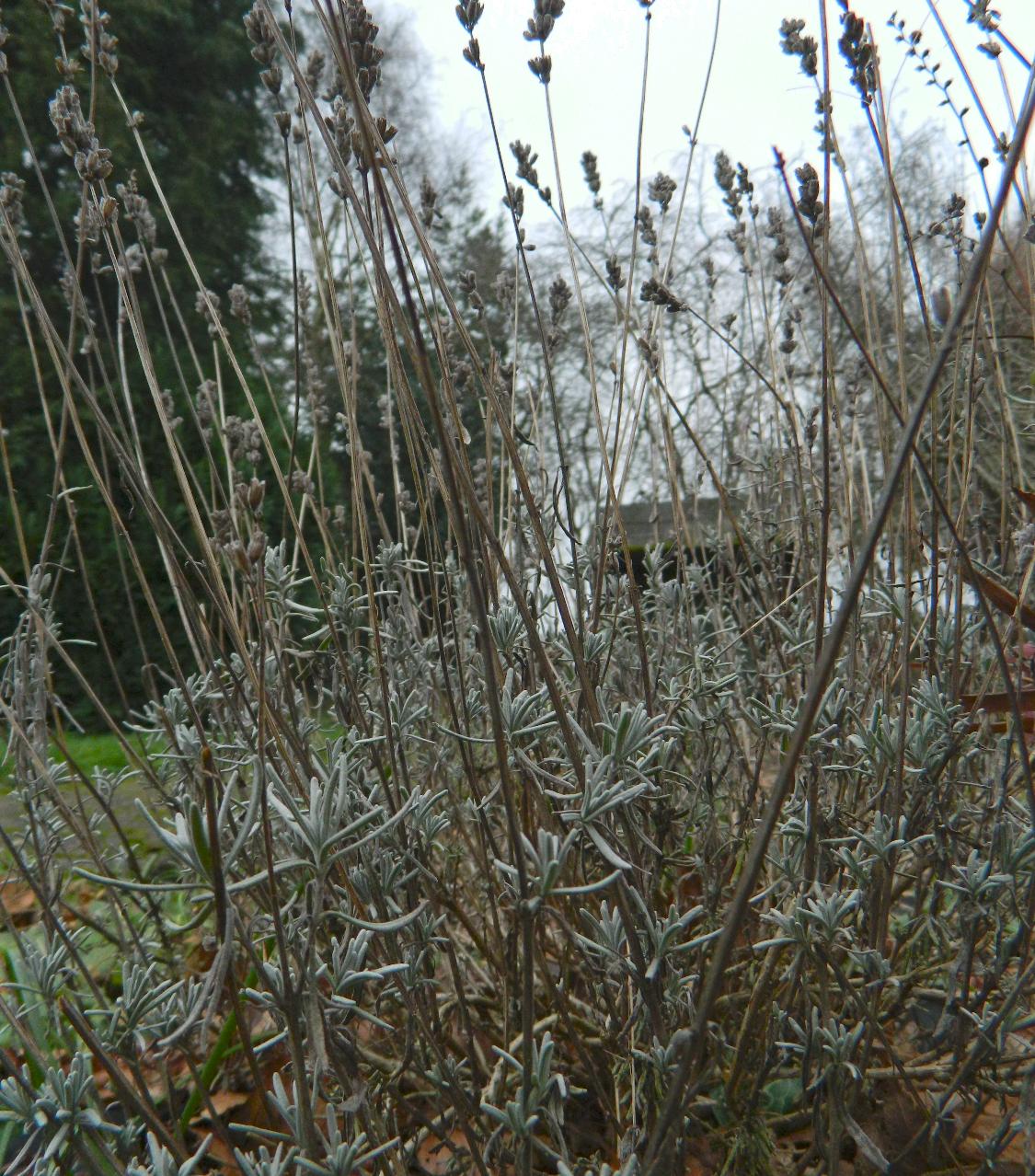 Colour Inspiration. Lavender in Winter.