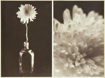 Chrysanthemum Album