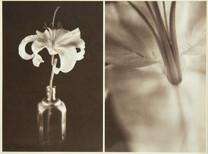 Lilium Belladonna