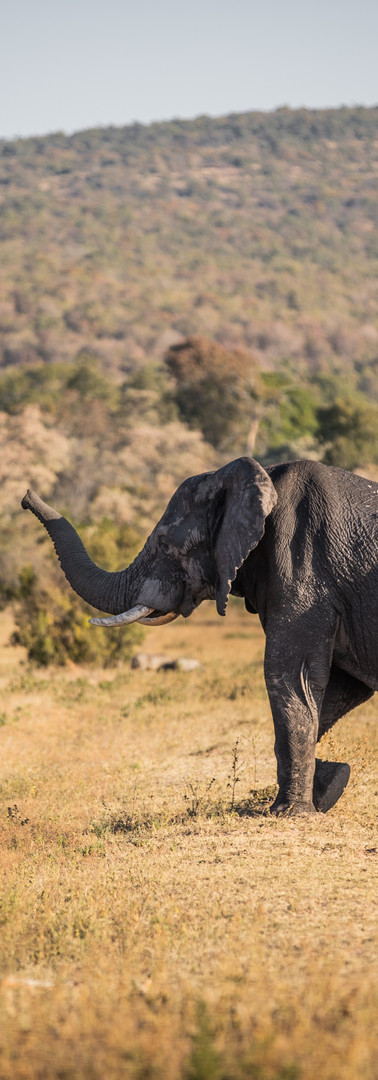 Big male elephant passing by our team's camp