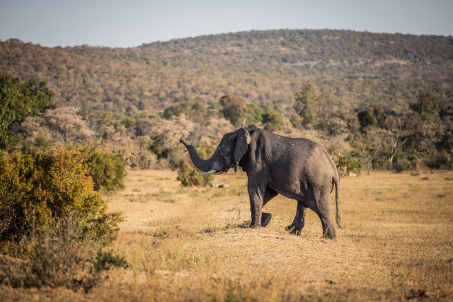A large male elephant passing by the camp our teams stay at