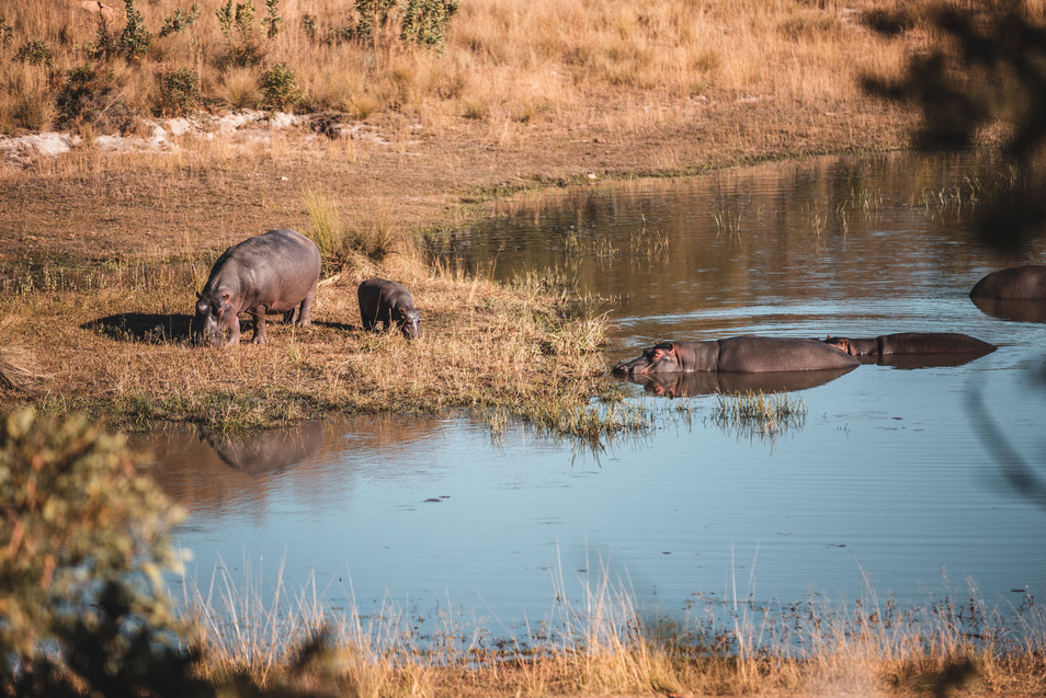 Baby hippo grazing with its mom nearby