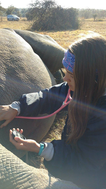 Rachel monitoring the rhino's heartbeat while it is being microchipped to protect it against poaching