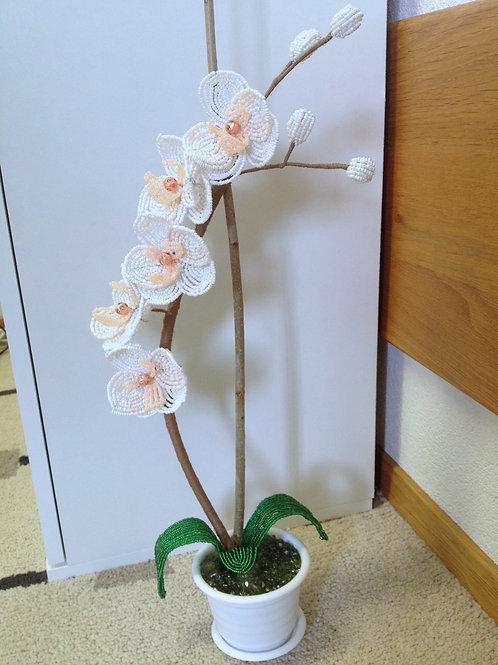 AP0434  Orchidee