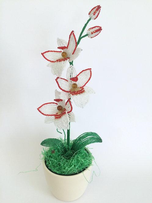 AP0414  Orchidee