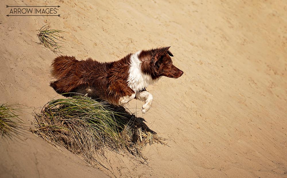 Dog jumping on sand dunes at Michigan Dog Friendly Beaches