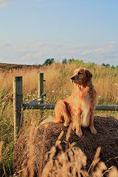 Golden Retriever West Michigan Pet Dog Photographer