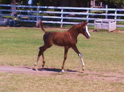 2015 filly Ohadi Indian Fire  x Indian Magic