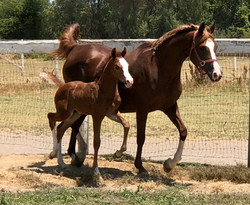 Muscatto foal IMG_2554