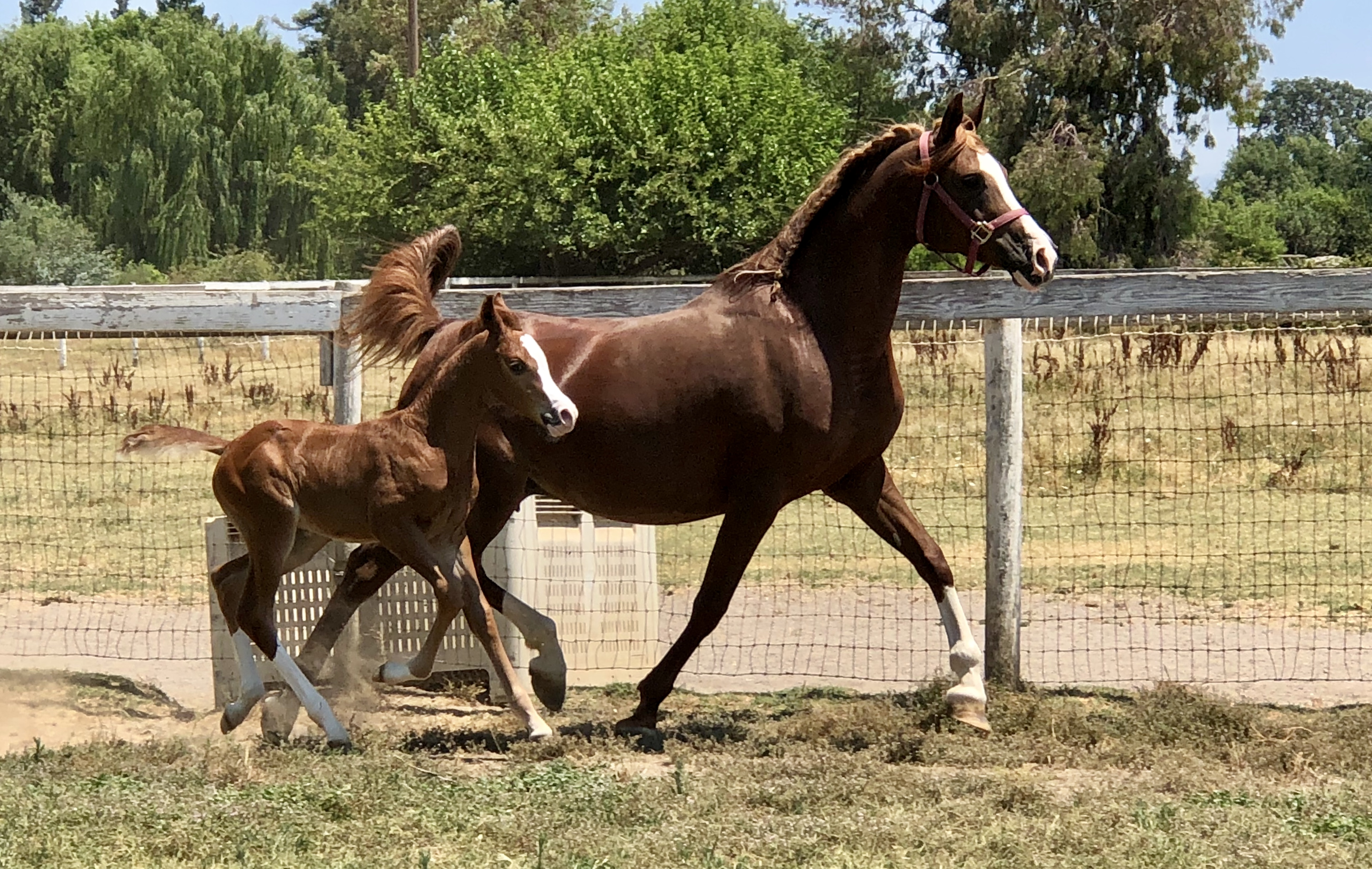 Muscatto foal IMG_2555
