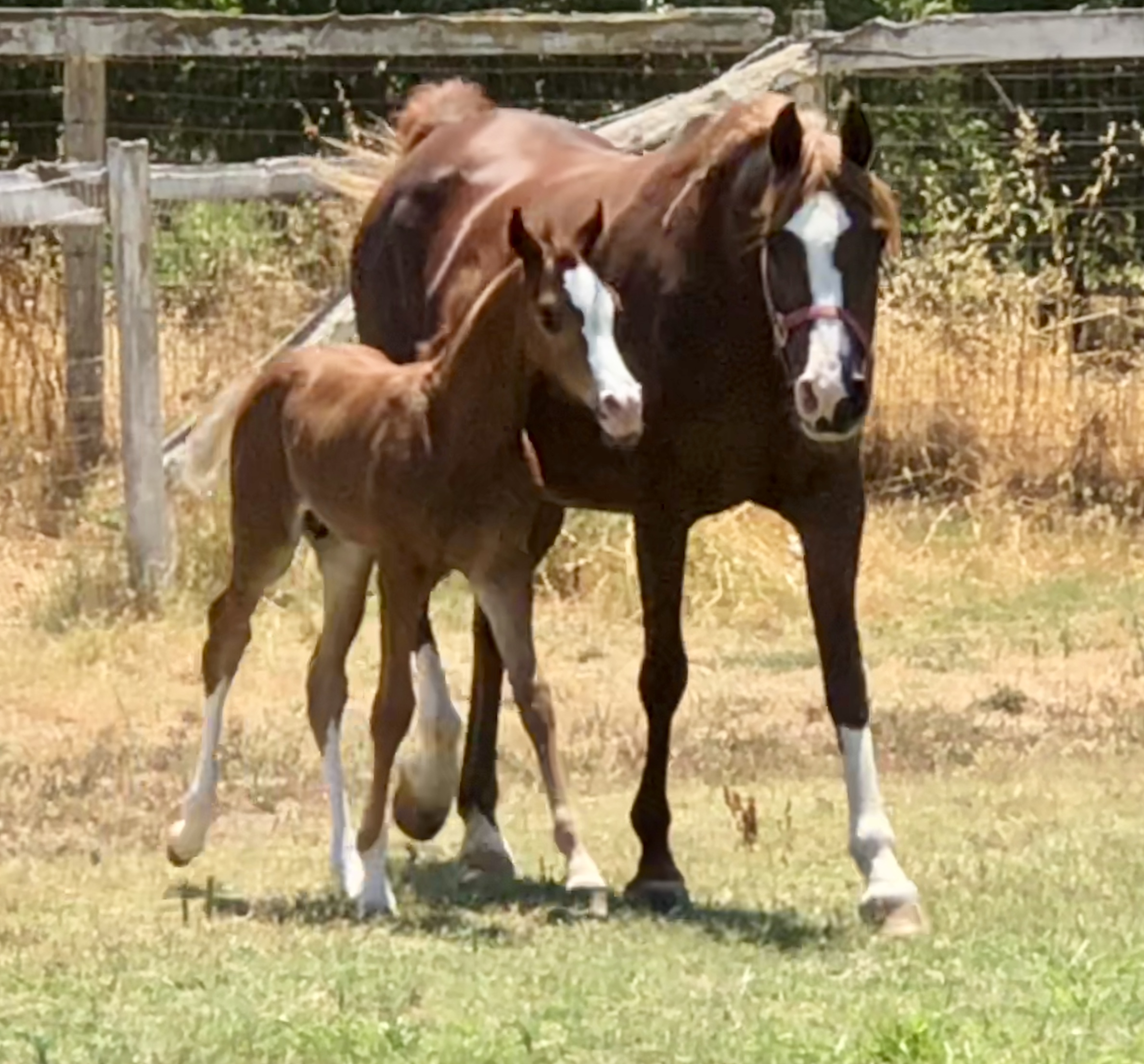 Muscatto foal IMG_2550