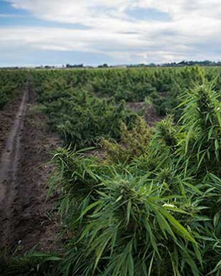 Repeater_3_Photos_Hemp_Field_309x386.jpg