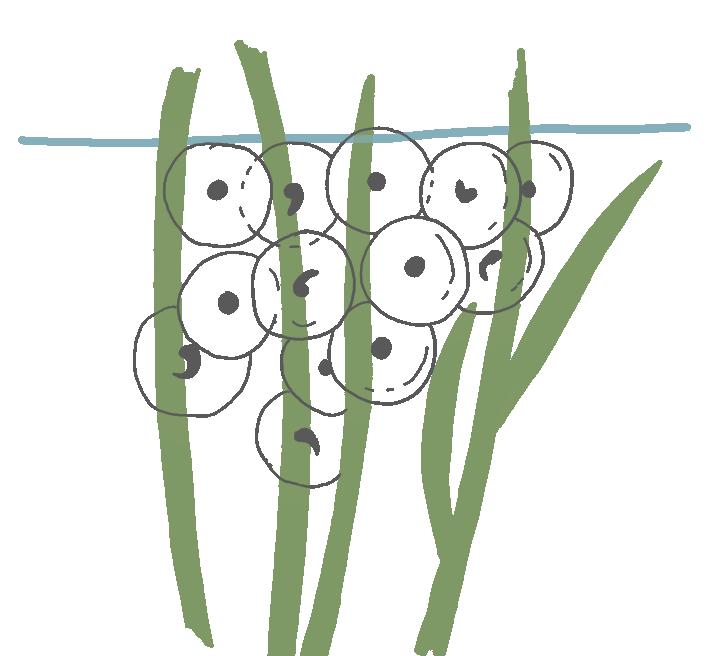 Froschlaich an Unterwasserpflanzen