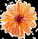 orange daisy.png