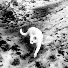 white cat 1965 maciel botman 09
