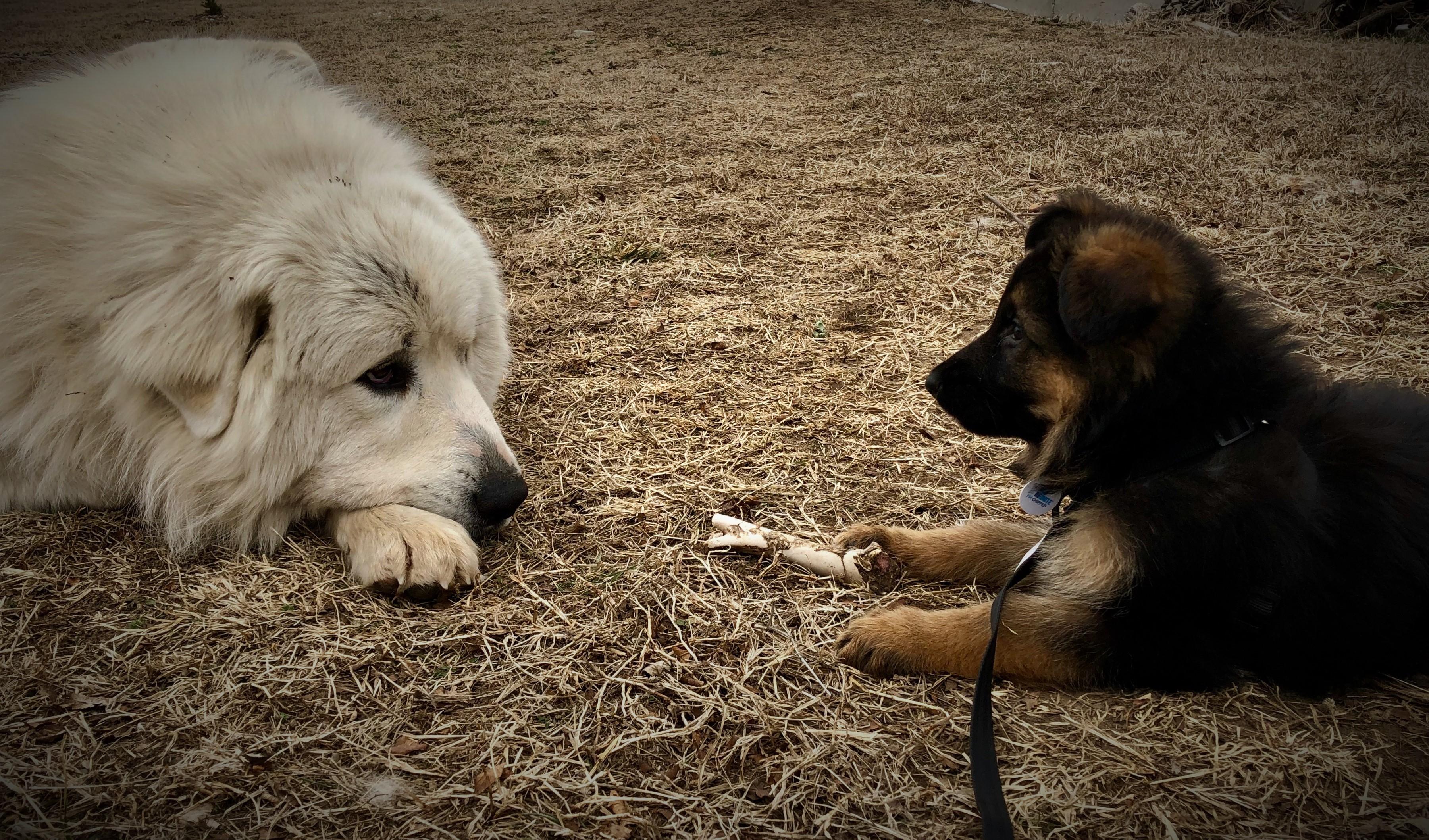 Koda kiyah puppy.jpg