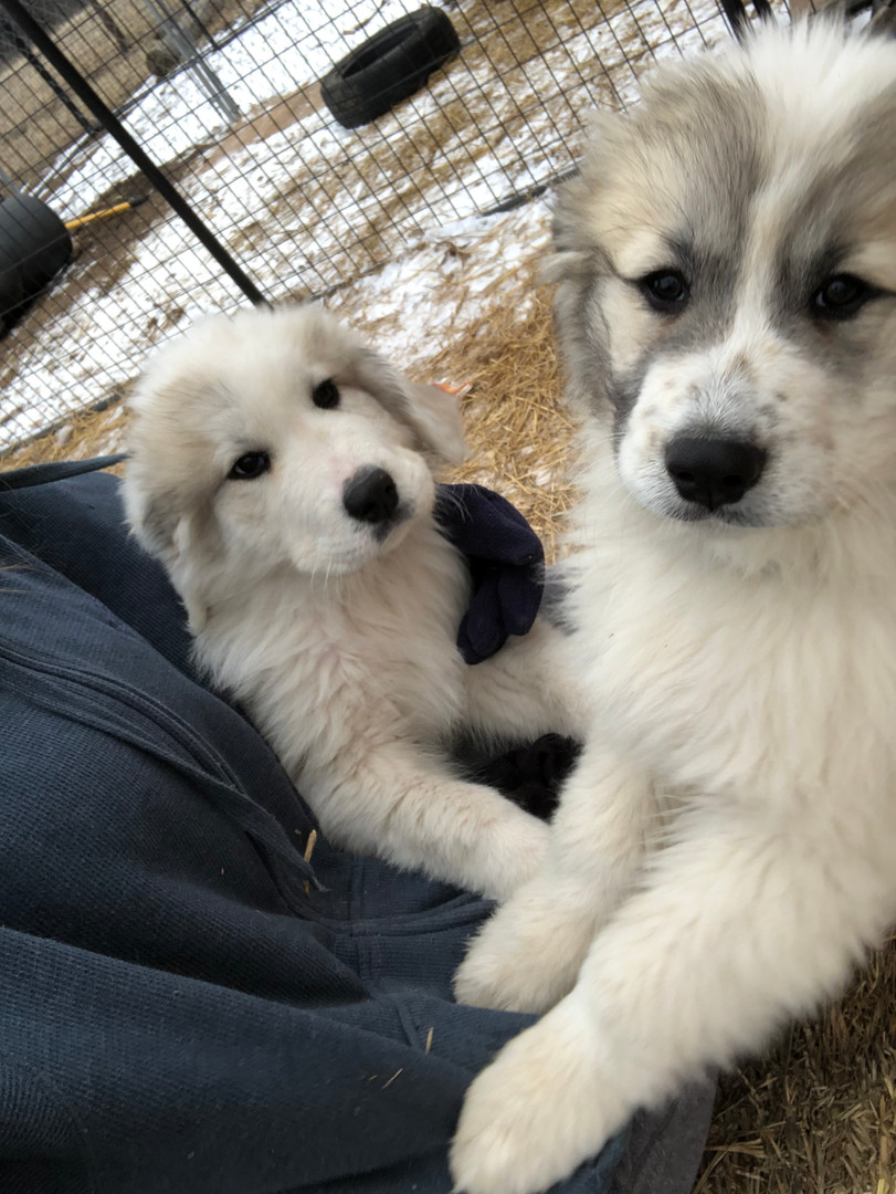 Timber n Tundra puppies.jpeg