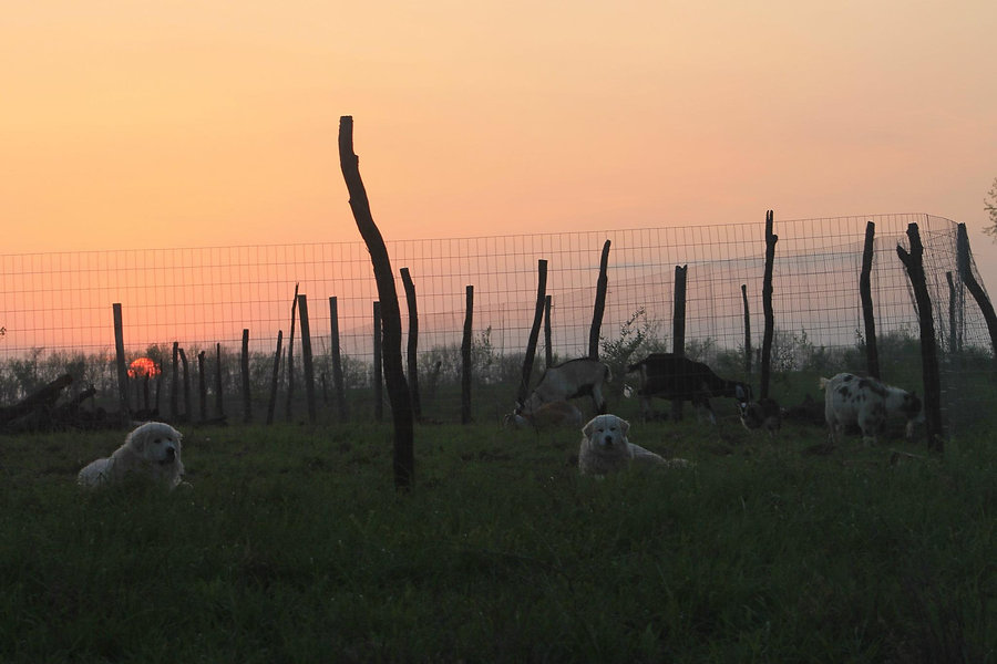 Dogs w Goats.jpg