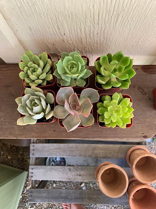6 Rosette Succulents