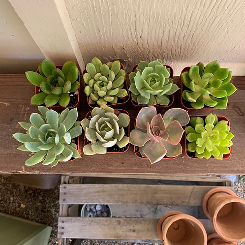 8 2 inch Rosette Succulents