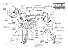 Akita+Inu+Skeletal+Structure.jpg