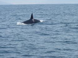 Orca macho. Orcinus orca