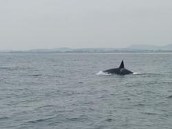 Orca. Orcinus orca