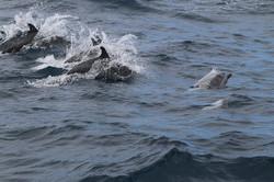Delfin moteado. Stenella attenuata