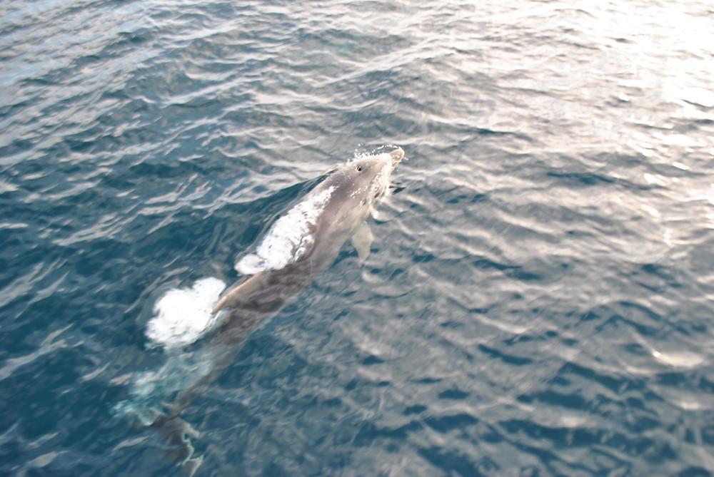 Delfín Mular en Calblanque