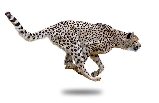 CheetahShadow.jpg