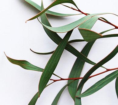 Lemon eucalyptus.jpg