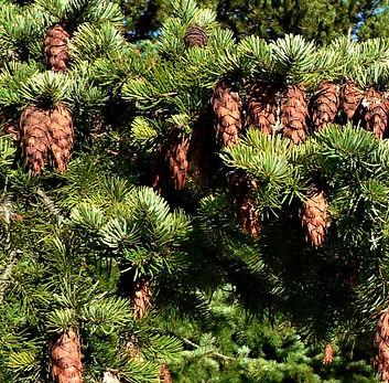 Douglas fir 3.jpg