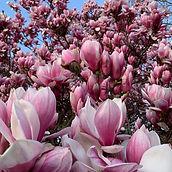 TulipMag2020.jpg