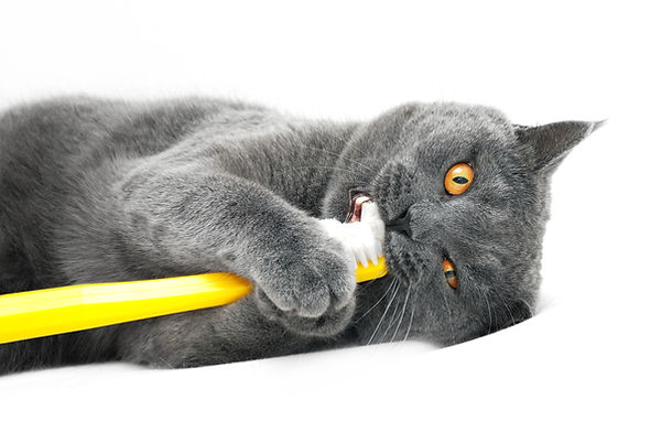 British shorthair cat playing with tooth