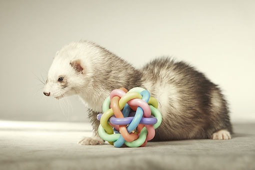 Ferret female with toy.jpg