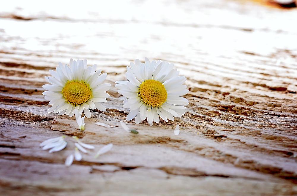 daisy-747320_1280.jpg