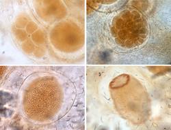 Embriogênese de Dysidea sp.