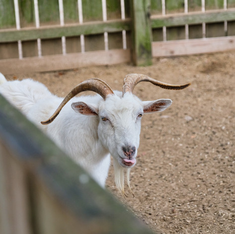Middleton Place Goats