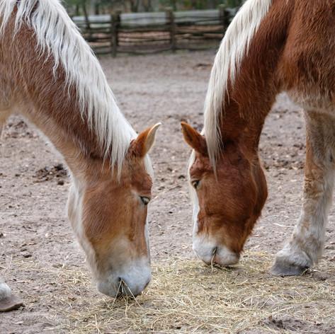 Middleton Plan Horses