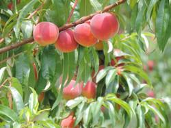 Roussane Peach