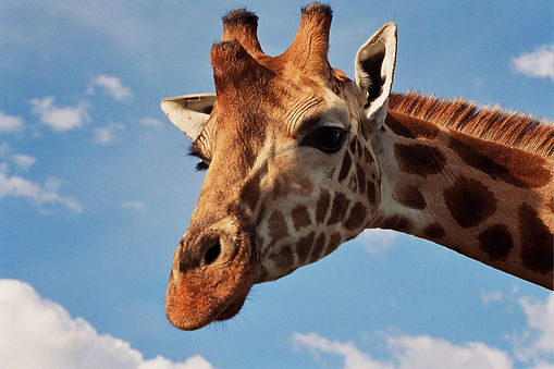 Giraffe saying contact Anna for more information