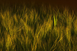 Rogue  in the barley