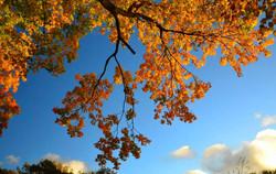 Autumn eaves