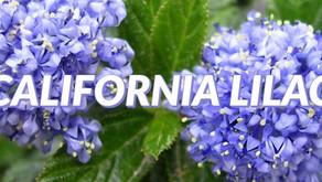 The California Lilac