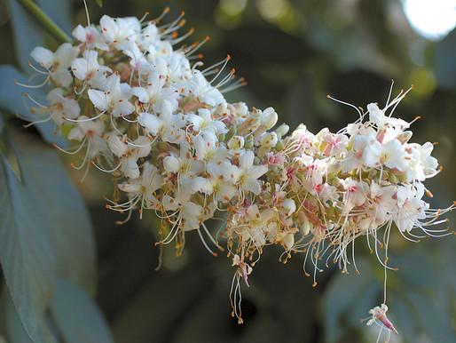 A Nutty Tree: California Buckeye