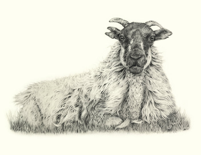 Agnes  sheep drawing Jo Gardiner Art