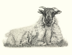 Agnes  sheep drawing Jo Gardiner Art