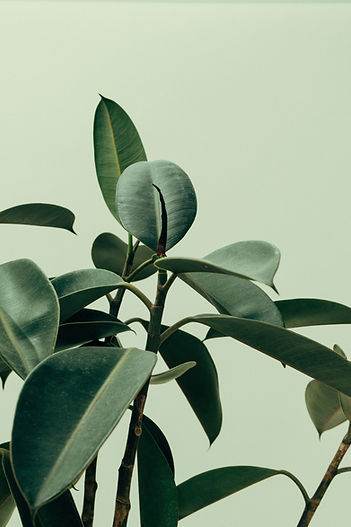 🌱 Rubber Tree, another one of my favourite indoor plants._edited.jpg